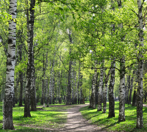 Alley in sunny birch grove with first spring greens