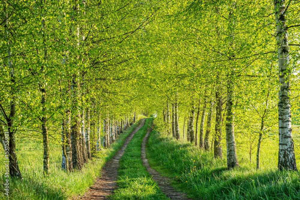 Fototapety, obrazy: Birch forest