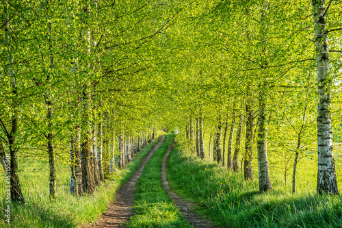 Foto op Canvas Pistache Birch forest