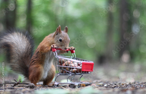 Foto op Canvas Eekhoorn Red squirrel near the small cart from a supermarket with nuts