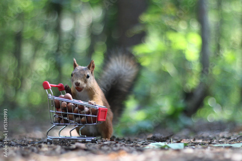 Fotografía Red squirrel near the small cart from a supermarket with nuts