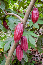 Cacao Beans Growing On Bush In Guatemala