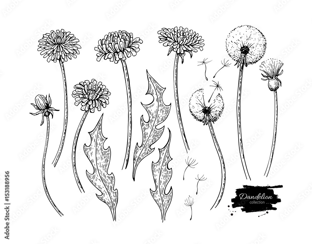 Fototapety, obrazy: Dandelion flower vector drawing set. Isolated wild plant and flying seeds. Herbal