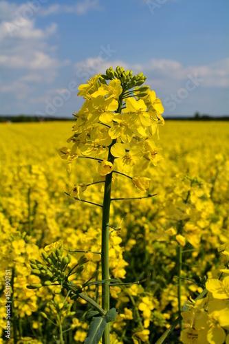 Obraz kwiat rzepaku - fototapety do salonu