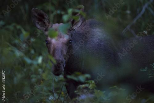 Moose Calf at Dusk Poster