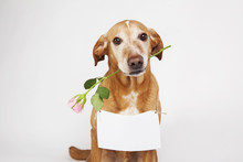 Brown Dog With Pink Rose In Its Mouth And White Table For Text.  On The Bright Background.
