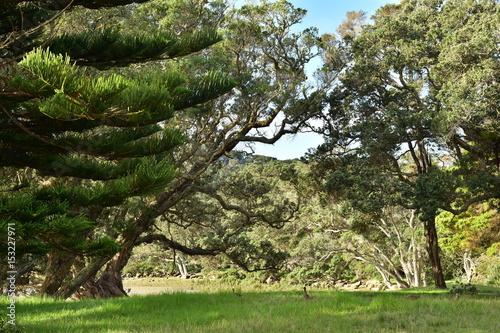 Fotobehang Bossen Bank of Puhoi River with Pohutukawa trees in Wenderholm Regional Park in Auckland.