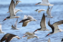 Black Skimmers And Gulls Flyin...