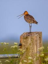 Black-tailed Godwit Calling Fr...