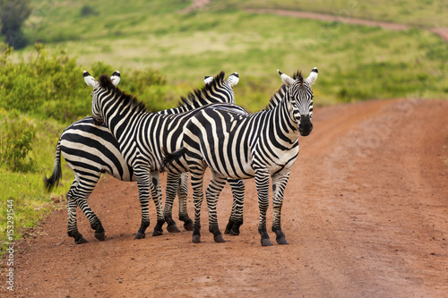 Canvas Prints Zebra Zebras on grassland in one of the National park of Kenya and border of Tanzania Africa