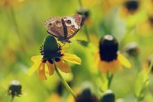Common Buckeye Butterfly (Juno...
