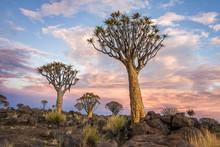 Namibia. Aloe Tree.