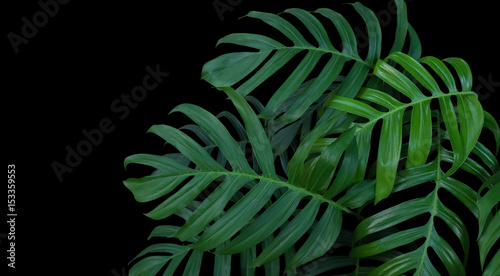 Fotografia, Obraz Monstera plant leaves, green tropical forest, evergreen vine on black background
