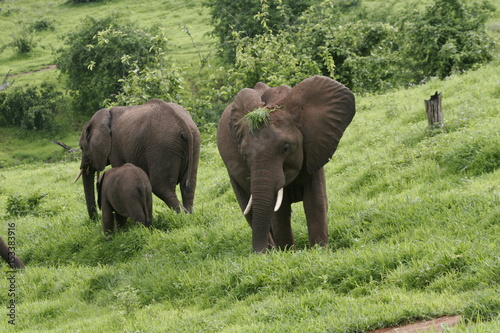 Keuken foto achterwand Buffel Wild Elephant (Elephantidae) in African Botswana savannah