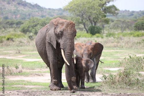 Aluminium Prints Elephant Wild Elephant (Elephantidae) in African Botswana savannah