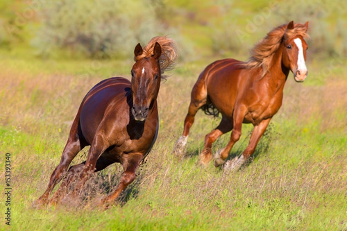 Foto op Canvas Paarden Two red horse with long mane run fast in green spring pasture