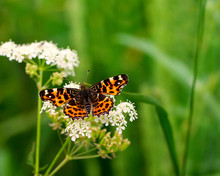 Butterfly Or Painted Lady -vanessa Cardui- On A Flower