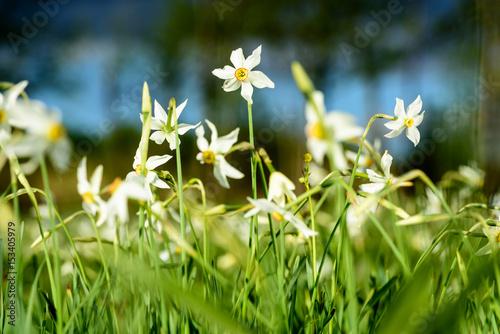 Garden Poster Narcissus Wild Narcissus Stellaris. Field of Spring Wildflowers.
