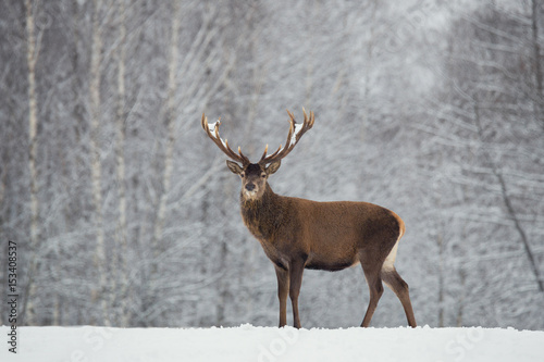 Poster Taupe Noble deer with big beautiful horns on snowy field on forest background.European wildlife landscape with snow and deer with big antlers.Portrait of Lonely elk.