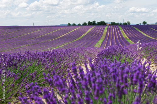 Foto op Aluminium Snoeien Endless lavender fields of Provence. Beautiful lavender close-up in Provence, France