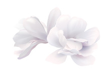 Illustration Of Two White Beautiful Magnolia, Spring Flower Isolated On White Background