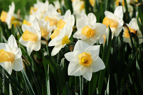 Papiers peints Narcisse Flowering daffodils.