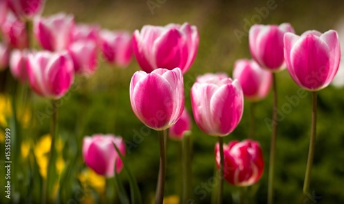 Beautiful pink tulips in the park #153513999