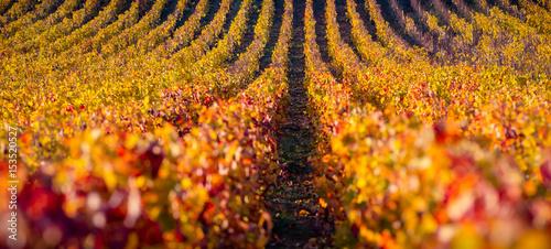 Cuadros en Lienzo vignes en automne