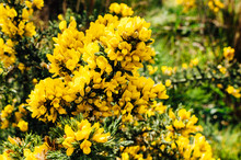 Yellow Gorse Flowers On A Bush.
