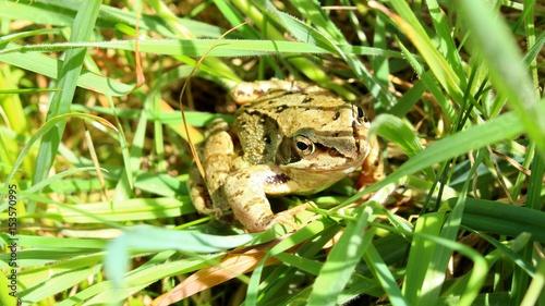 Tuinposter Kikker grenouille camouflée dans les herbes