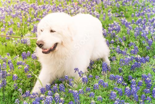 Αφίσα  Portrait of a big fluffy white Great Pyrenees dog on Bluebonnet and Indian paintbrush field outside of Dallas, Texas, USA at springtime