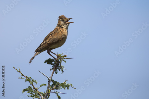 Valokuva  Rufous-naped lark sit on branch and call to claim his territory