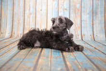 Schnoodle On Blue Wooden Background