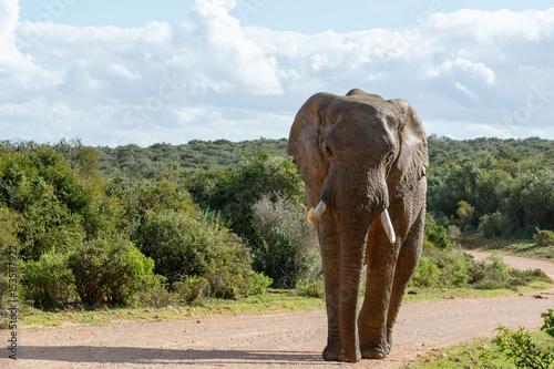 Fotobehang Olifant Elephant walking on the dusty road