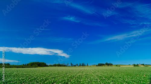 Obraz Potato field flowering and big skies in rural Prince Edward Island, Canada. - fototapety do salonu