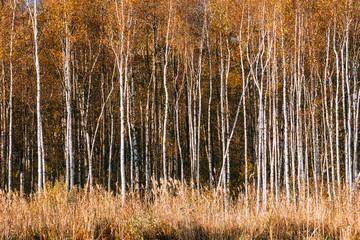 Panel Szklany Podświetlane Brzoza Beautiful Birch forest in autumn season.