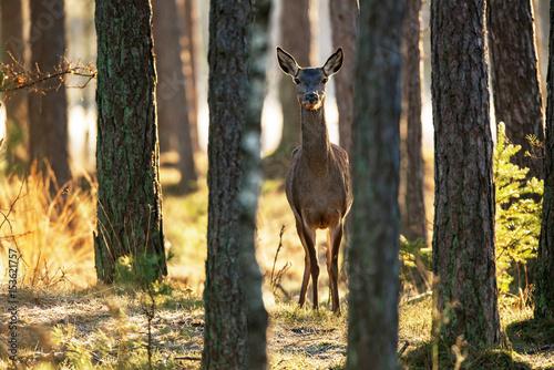 Spoed Fotobehang Ree Red deer hind standing between pine trunks looking towards camera.