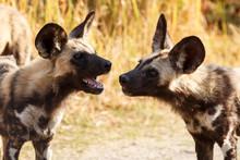 Wild Dog - Okavango Delta - Mo...