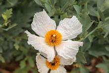 White Matilija Poppy, Romneya Trichocalyx, Flower