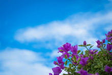 Pink Bougainvillea Flowers Against The Blue Sky Background.