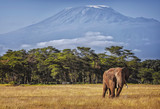 Fototapeta Góry - Kilimanjaro and Elephant