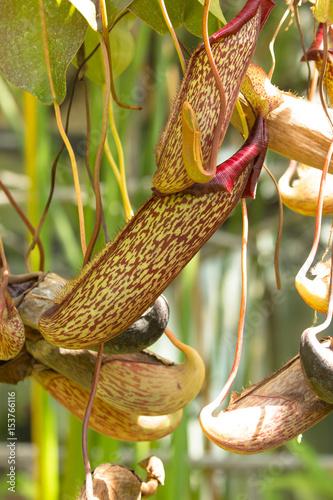 Fotografía Pianta carnivora tropicale