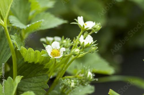 Deurstickers Lelietje van dalen bloom strawberry elsanta flowers