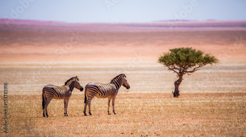 Poster Zebra Lonely in the desert
