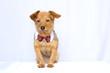 chien avec cravate sur fond blanc assis et attentif