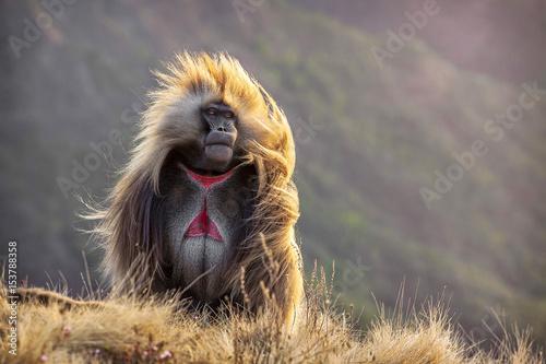 Photo Ethiopia. Semien Mountains. Gelada Baboon.
