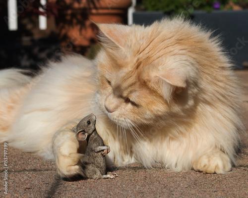 Plakat Kot Maine Coon rozmawia z myszką