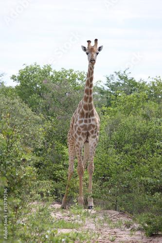 Wild Giraffe mammal africa savannah Kenya (Giraffa camelopardalis) Poster