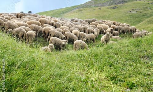 troupeau de moutons dans alpage de Savoie Canvas Print