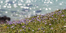 Bright Purple, Cornish Wildflowers Clinging To A Clifftop With The Shimmering Ocean Behind.